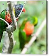 Rainbow Lorikeet Parrot Trichoglossus Haematodus Acrylic Print