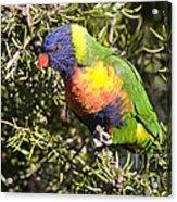 Rainbow Lorikeet Acrylic Print