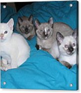 Rainbow Of Kittens Acrylic Print
