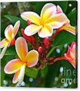 Rainbow Plumeria - No 4 Acrylic Print