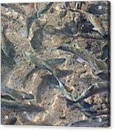 Rainbow Trout Art Prints Canvas Framed Acrylic Print