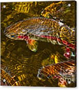 Rainbow Trout Acrylic Print by Cari Gesch
