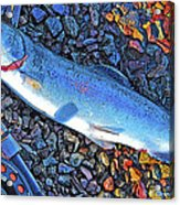 Rainbow Trout Dry Fly Reel Poster Image Acrylic Print by A Gurmankin