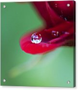 Raindrops And Roses Acrylic Print by Tim Gainey