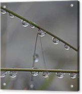 Raindrops Clinging To Grass Stems Acrylic Print