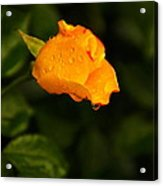 Raindrops On A Yellow Rose Acrylic Print