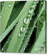 Raindrops On Blades Of Grass Acrylic Print