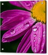 Raindrops On Daisies Acrylic Print