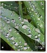 Raindrops On Daylily Leaves Acrylic Print