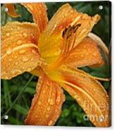 Raindrops On Golden Lily Acrylic Print