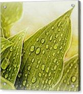Raindrops On Hostas Acrylic Print