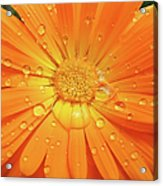 Raindrops On Orange Daisy Flower Acrylic Print