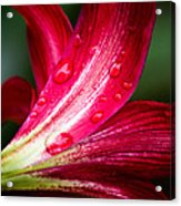 Raindrops On Red Petals Acrylic Print