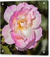 Raindrops On Rose Petals Acrylic Print