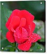 Raindrops On Rosebud Acrylic Print