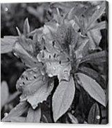 Raindrops On Springtime  Mono Acrylic Print