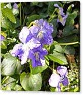 Raindrops On Violets Acrylic Print