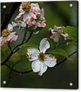 Rainy Day Dogwood Acrylic Print