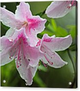Rainy Day Series - Pink On Pink Azaleas Acrylic Print