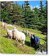 Ram And Ewes Acrylic Print