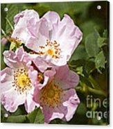 Rambling Rose 3 Acrylic Print