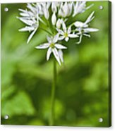 Ramsons Wild Garlic Allium Ursinum Acrylic Print