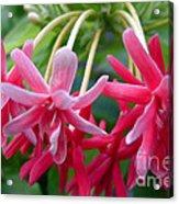 Rangoon Creeper Flower Acrylic Print