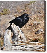 Ranting And Raven Acrylic Print