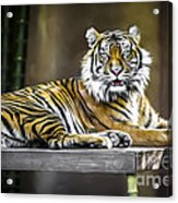 Ranu The Sumatran Tiger Acrylic Print by Shannon Rogers