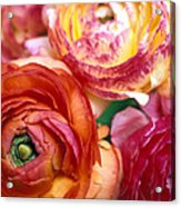 Ranunculus Close-up Acrylic Print