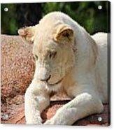 Rare Female White Lion Acrylic Print