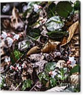 Rare Spring Beauty Acrylic Print