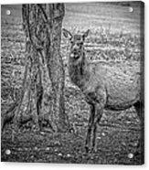 Raspberry Elk Black And White Acrylic Print