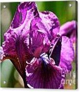 Raspberry Jam Iris Acrylic Print