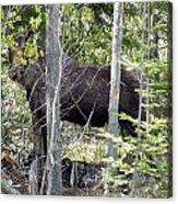 Raspberry Moose Acrylic Print