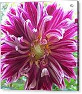 Raspberry Sundae Dahlia Acrylic Print