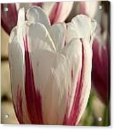 Raspberry Vanilla Tulip Acrylic Print