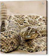 Rattlesnake 1 Acrylic Print