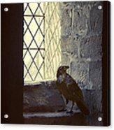 Raven By Window Acrylic Print