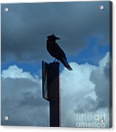 Raven Checking The Wind Acrylic Print