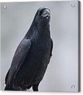 Raven On A Birch Log Acrylic Print