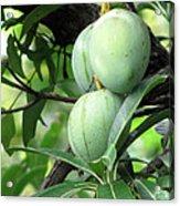 Raw Mangoes Acrylic Print