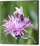 Reaching For Nectar Acrylic Print