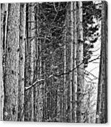 Reaching Pines Acrylic Print
