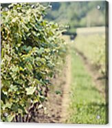 Ready For Harvest  Acrylic Print by Lisa Russo