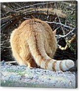 Ready For The Pounce Acrylic Print