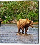 Ready To Pounce On A Salmon  In The Moraine River In Katmai National Preserve-ak Acrylic Print