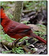 Really Red Acrylic Print