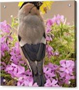 Rear View Of Female Bullfinch Standing Acrylic Print