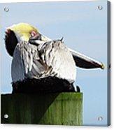 Rear View Pelican Acrylic Print